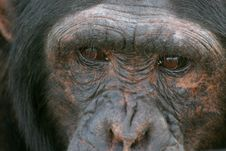 Free Chimp Face Stock Photo - 1962800