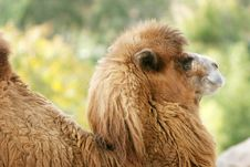 Free Camel Stock Images - 1962804