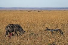 Free Hyena And Jackal Stock Image - 1962821