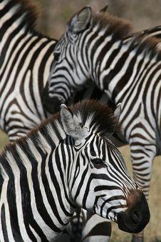 Free Zebra Closeup Royalty Free Stock Photography - 1962827