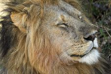 Free Male Lion Royalty Free Stock Photo - 1962855