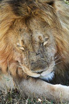 Free Sleepy Lion Royalty Free Stock Photo - 1962875