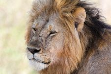 Free Lion King Royalty Free Stock Photos - 1962878