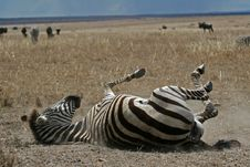Zebra In Dust Stock Photography