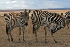 Free Zebras Royalty Free Stock Images - 1962969