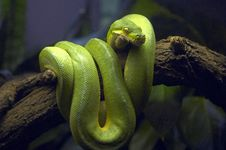 Free Green Snake In Tree Branch Royalty Free Stock Photos - 1963808
