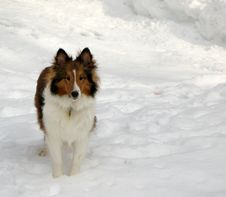Free Sheltie In The Snow Stock Images - 1964174