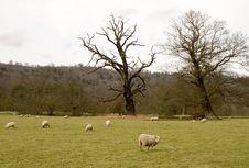 Free Sheep Stock Image - 1964471