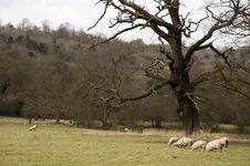 Free Sheep Royalty Free Stock Photos - 1964718