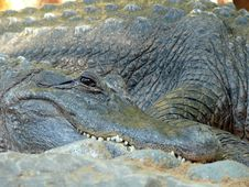 Free Crocodile Close Up Royalty Free Stock Photos - 1965838