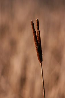 Free Common Cattail Royalty Free Stock Photos - 1967728