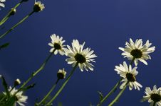 Free Skyward Daisies. Royalty Free Stock Photography - 1968387