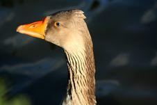 Free Wild Duck Royalty Free Stock Photos - 1969358