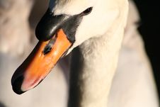 Free Wild Swan Head Royalty Free Stock Photography - 1969397