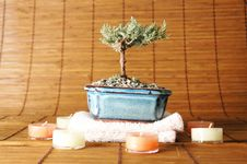 Free Bonsai Tree Royalty Free Stock Images - 1969549