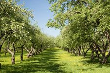 Free Apple Orchard Stock Image - 19600041