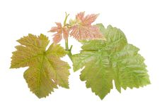 Free Grape Leaves Royalty Free Stock Image - 19602686