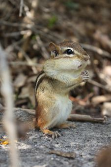 Free Chipmunk Stock Photos - 19602703