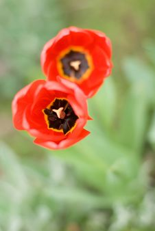 Free Two Red Tulips In Form Of The Digit 8 Stock Image - 19602811