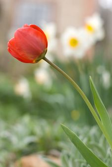 Free Red Tulip Against The Narcissi Royalty Free Stock Photography - 19602817