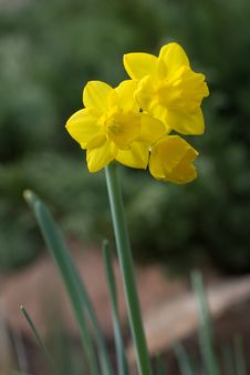 Free Triple Yellow Narcissus Royalty Free Stock Photos - 19602818