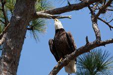 Free Bald Eagle Stock Photos - 19603143