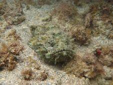 Devil Scorpionfish Royalty Free Stock Photos