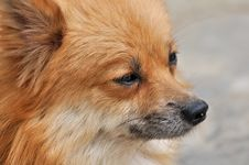 Free Face Detail Of A Pomeranian Dog Stock Photos - 19604563
