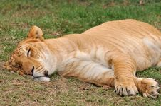 Free An African Lion Is Sleeping Stock Images - 19604564