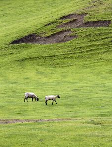 Two Sheep Grazing In Meadow. Stock Photo