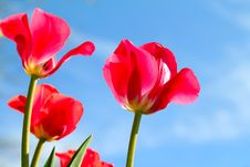 Free Red Tulips Stock Images - 19605154