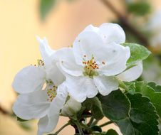 Free Sprig Of Apple Blossom Royalty Free Stock Images - 19606479