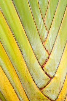 Free Texture Of Traveller S Tree Or Banana Fan Royalty Free Stock Photo - 19606865
