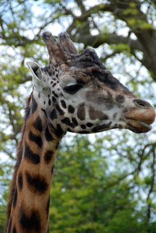 Free Giraffe Face 1 Royalty Free Stock Photography - 19607317