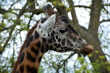 Free Giraffe Face 2 Stock Photos - 19607323