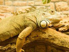 Free Iguana Royalty Free Stock Image - 19607886