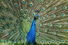 Free Peacock Royalty Free Stock Images - 19608089