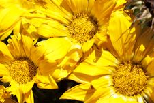 Free Yellow Flowers Stock Image - 19609111