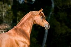 Free Chestnut Arabian Horse Stallion Portrait Royalty Free Stock Photo - 19609465