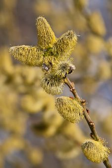 Free Hazel Catkins Royalty Free Stock Images - 19609759