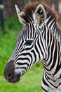 Free Head Of Zebra In Green Field Royalty Free Stock Images - 19613559