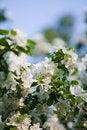 Free Apple Tree Blossom Royalty Free Stock Photos - 19619488