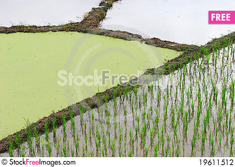 Free Rice Plant Prepare Stock Photography - 19611512