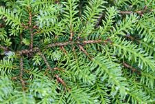 Free Background Of Green Branches With Needles Fir Tree Stock Images - 19610154