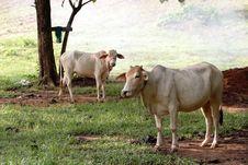 Free White Cows Stock Photos - 19611433