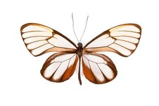 Free Brown And White Butterfly Godyris Duilia Isolated Royalty Free Stock Image - 19611606