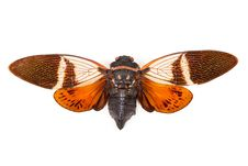 Free Red And Brown Cicada Anganiana Flordula Royalty Free Stock Images - 19611619