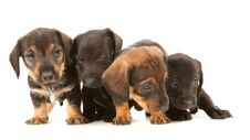 Free Dachshund Puppies Embracin Royalty Free Stock Image - 19612176