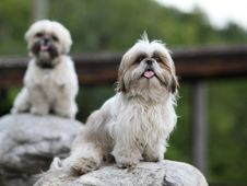 Free Cute Funny Shih Tzu Breed Dog Outdoors Royalty Free Stock Photo - 19612305