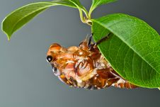 Cicada Eclosion Royalty Free Stock Photography